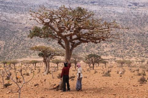 yl-frank-tree